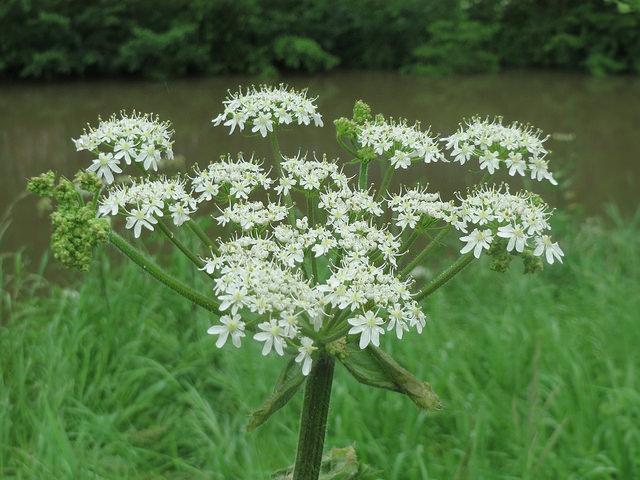 Berce spondyle heracleum sphondylium plantes comestibles for Plante 7 folioles